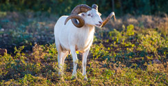 Texas Dall Sheep