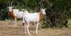 Scimitar Horned Oryx